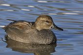 image of gadwall  - Gadwall - Anas strepera