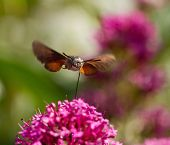 stock photo of hawk moth  - Hummingbird Hawk - JPG