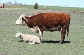 picture of hereford  - Hereford cow standing in a small pasture with a Ram lying in the grass - JPG