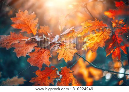 poster of Autumn colorful bright Leaves swinging in a tree in autumnal Park. Autumn colorful background, fall