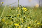 Summer Yellow Raps Field. Colza Is Ripening Colza Has Been Cultivated In Europe As An Ingredient For poster