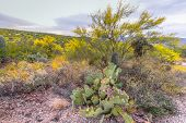 Desert Wildflower Landscape. A Prickly Pear Cactus Blooms Surrounded By A Variety Of Desert Fauna An poster