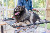 Professional Groomer Woman Is Trimming Cute Wolf Spitz Dog. The Dog Is Lying On The Adjustable Hydra poster