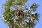 Asian Palmyra Palm poster