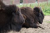European Bison, Saint-petersburg, Toksovo. Forest Bison Male Also Knon As European Bison Or Wisent.  poster