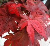Rain On Red Maple