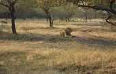The Lion At Gir Forest Of Gujarat In India. poster