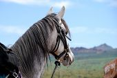 pic of superstition mountains  - Gray horse waiting for next ride into the desert in Arizona - JPG