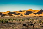Sand Dunes Erg Chebbi With Camels Near Merzouga In Morocco poster