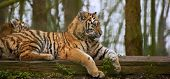 picture of tigress  - Tigress relaxing on log with young cub behind blurred - JPG
