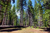 Lush Green Pine Trees At A Evergreen Forest Taken In The Rural Sierra Nevada Mountains, Ca poster