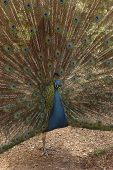 stock photo of swagger  - Male peacock strutting his plumage in a defense stance - JPG