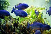 foto of piranha  - Blue Piraya Piranha swimming in a Aquarium - JPG