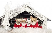 picture of christmas theme  - Chihuahuas sitting and wearing a Christmas suit in front of Christmas nativity scene with Christmas tree and snow against white background - JPG