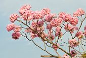 stock photo of lapacho  - Pink Trumpet Or Tatebuia In Full Bloom - JPG