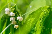 picture of lillies  - Lilly of the valley - JPG