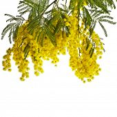 branch mimosa acacia flowers isolated on white background