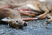 picture of deer meat  - Killed deer by hunters lay on asphalt road - JPG