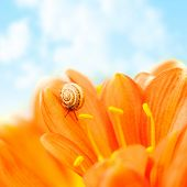 picture of escargot  - Little snail crawling on crocus flower over blue sky background - JPG