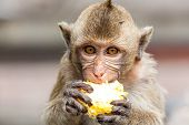 picture of macaque  - The macaque is a genus of the family of the Old World monkeys - JPG