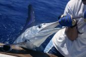 pic of sailfish  - Billfish white Marlin catch and release on boat board - JPG