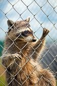 A Raccoon Behind A Fence At A Zoo