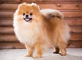 image of pomeranian  - Studio portrait Pomeranian dog on a background wooden wall - JPG