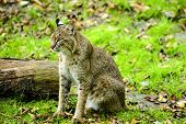 stock photo of bobcat  - A bobcat sitting next to a log in the green grass - JPG