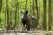 stock photo of wild hog  - Wild boar in their natural habitat in the spring - JPG