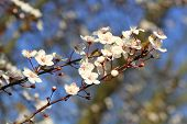 stock photo of japanese magnolia  - Blooming spring tree branch in the park - JPG