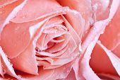 Close up on a pink rose covered with dew