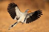 Yellow-billed hornbill (Tockus flavirostris) landing with open wings, South Africa