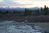 stock photo of caribou  - A caribou wanders past a river in Denali National Park - JPG