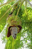 image of banana tree  - growing banana blossom on banana tree in Thailand - JPG