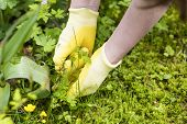 stock photo of weed  - picking weeds with hands in a garden