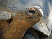 stock photo of tortoise  - Huge Galapagos Tortoise Largest Living Species of Tortoise - JPG