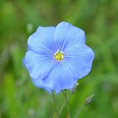 stock photo of flax plant  - Flax flower - JPG
