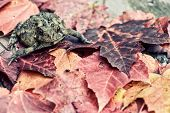 foto of wart  - An American Toad sits on a pile of fall leaves. Processed to give retro faded vintage look.