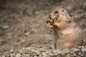 picture of prairie  - A cute Prairie Dog eating a leaf - JPG