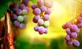 stock photo of merlot  - Bunch of grapes on grapevine growing in vineyard - JPG