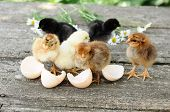 image of baby chick  - Small chicks and egg shells in summer - JPG