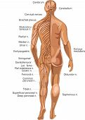 stock photo of plexus  - Vector medical illustration of human nervous system anatomy - JPG
