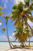 picture of french polynesia  - Palm trees at island of Bora Bora - JPG