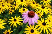 picture of black-eyed susans  - Yellow and Pink black eyes susan in garden - JPG