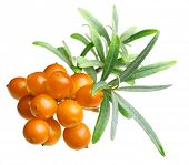 image of sea-buckthorn  - Sea buckthorn isolated on the white background - JPG