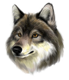 picture of white wolf  - Portrait of realistic wolf on the white background - JPG