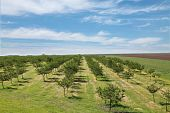 stock photo of apple orchard  - Orchard in early spring with blue sky - JPG