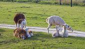 pic of alpaca  - Small herd of alpacas  - JPG