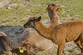 image of alpaca  - standing brown baby alpaca calf with short hair amidst the group of adult alpacas lying on the grass - JPG