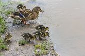 pic of duck  - Duck stands on the shore of a lake surrounded with little ducklings feeding - JPG